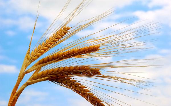 خرید 67 هزار تن گندم از کشاورزان قزوینی