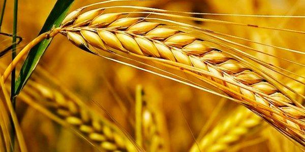 گندم باکیفیتتر، از سال آینده ارزش بیشتری مییابد