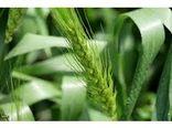 تولید 280 تنی گندم در شهرستان نور