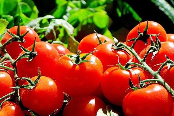امسال؛ ۳۰۰ هزار تن گوجه فرنگی استان بوشهر وارد بازارهای داخلی و خارجی شد