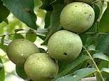 پیشبینی برداشت 17هزار تن گردو از باغات استان کرمان