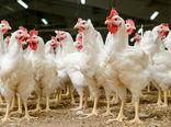 اعلام جزییات بسته حمایتی و ترویجی احیای مرغ نژاد آرین