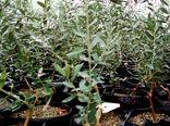 سالانه ۱۷۵۰۰۰ اصله نهال در نهالستانهای شهرستان البرز تولید می شود