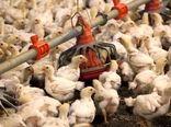 کشتارگاه ایلام مرغ مورد نیاز پشتیبانی امور دام را تامین میکند