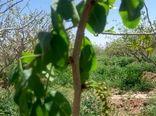 حوادث غیر مرتقبه طبیعی خسارت شدیدی به باغات پسته شهرستان انار وارد کرده است