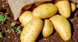 برداشت بیش از 515 هزار تن سیب زمینی از اراضی این شهرستان