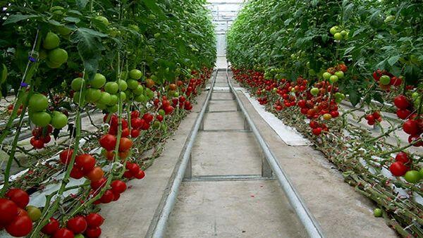 اصفهان پیشرو در تولید محصولات گلخانهای