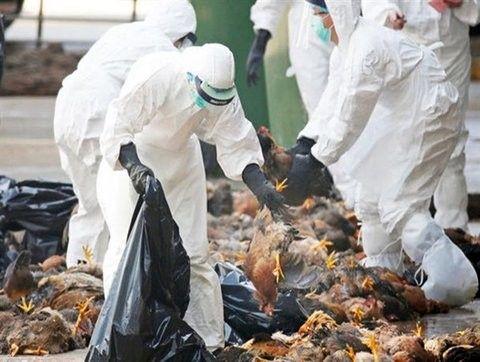 پرداخت غرامت به خسارتدیدگان آنفلوانزای پرندگان