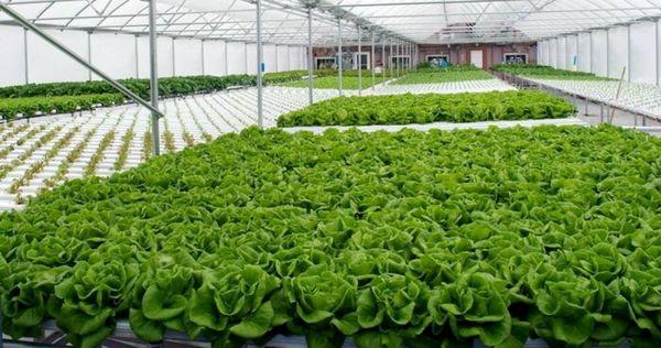 رشد گلخانههای بوشهر، تولید بیشتر با هزینه کمتر