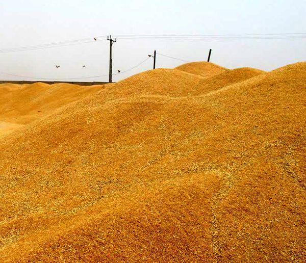آغاز خرید گندم توسط تعاون روستایی خوزستان