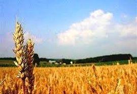 جلسه تولیدات گیاهی با محوریت تولید گندم در ارزوئیه برگزار شد