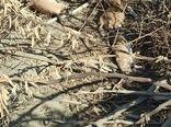 مبارزه  ۶ هزار و ۲۰۰ هکتاری علیه جوندگان مضر کشاورزی