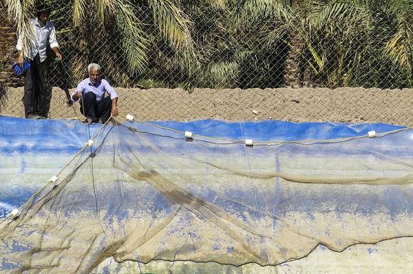 افزایش تولید گوشت ماهی در کرمان