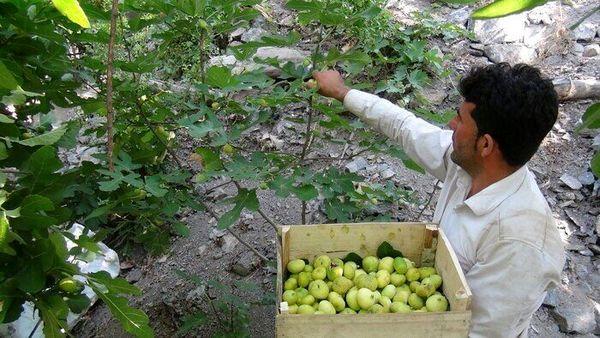 برداشت انجیر از ۷۳ هکتار باغات سروآباد آغاز شد
