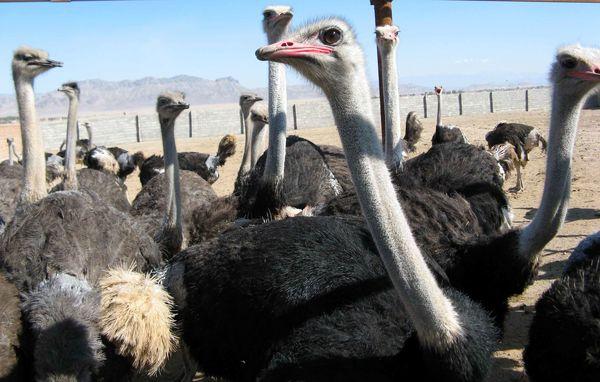 بیش از 20 میلیارد ریال اعتبار به پرورش شتر مرغ اختصاص یافت
