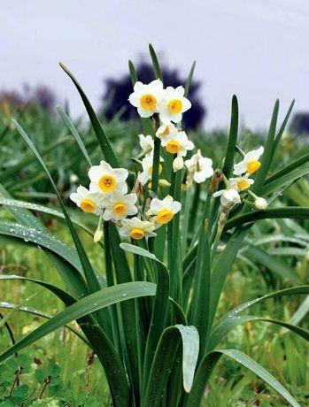 رونق کاشت گل نرگس در کازرون