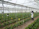 ورود شرکت های دانش بنیان به توسعه کشت گلخانه ای