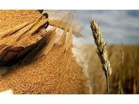 4000 تن گندم از کشاورزان گلوگاهی خریداری شد
