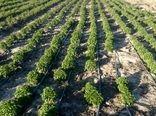 کارگاه آموزشی کاشت و پرورش گیاهان دارویی با محوریت زعفران و گاو زبان در شهرستان سیرجان برگزار شد