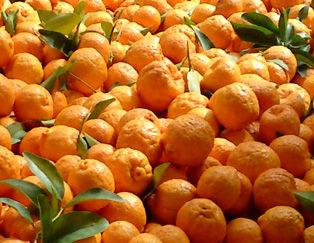 نارنگیهای آفتزده به بازار نرسید