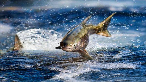 میزان عملکرد دریاچه ها 12 میلیون تن ماهی در سال است