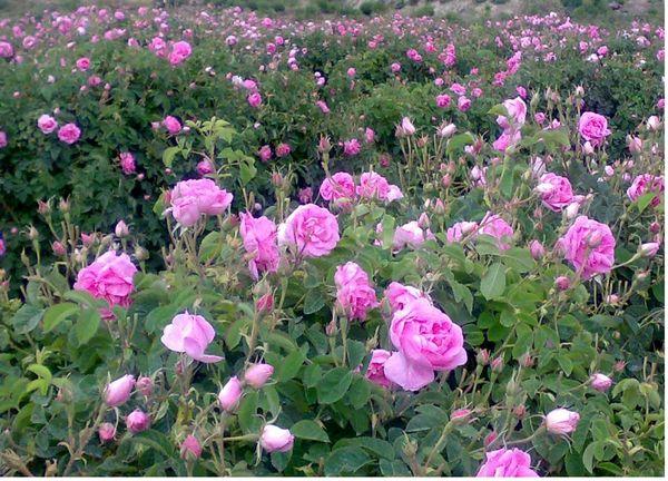 کشت گل محمدی در 230 هکتار از زمینهای شیبدار ساری