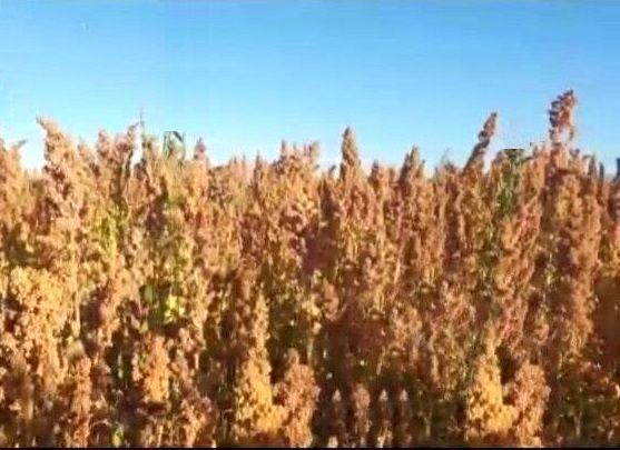 کشاورزی پایدار، تغذیه مناسب و تولید صنعتی با کشت کینوا در شهرستان سلطانیه