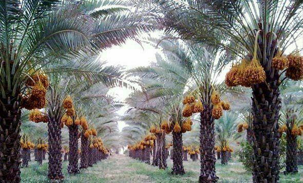 نخلداران خوزستانی نگران خرید محصول خرمای تولیدی خود نباشند