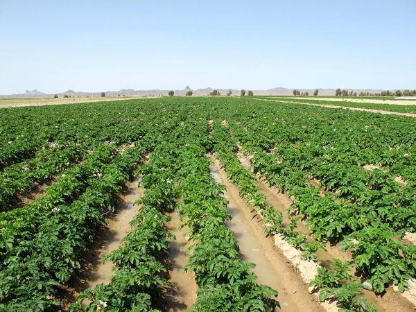 6 محصول کشاورزی سیستان وبلوچستان نشان استاندارد دریافت کردند