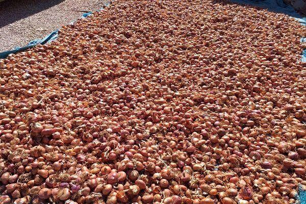 برآورد تولید ۷۰ تن پیاز در اصفهان
