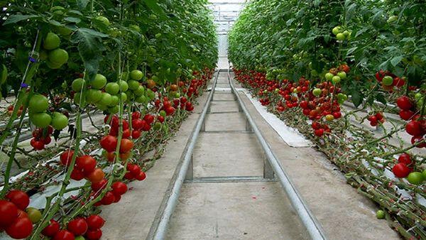 نهایی شدن مطالعات ۵ مجتمع گلخانهای در خراسان جنوبی