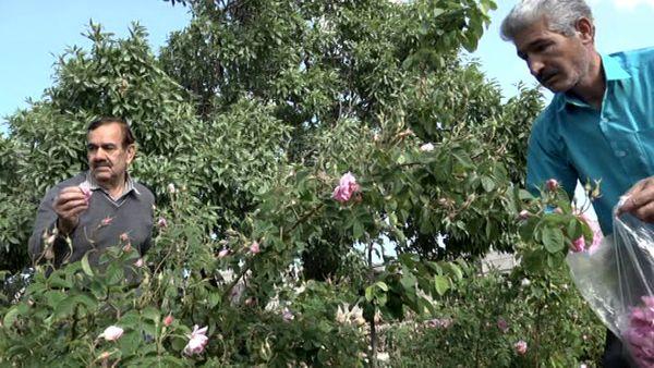 برداشت گل محمدی در بهاباد آغاز شد
