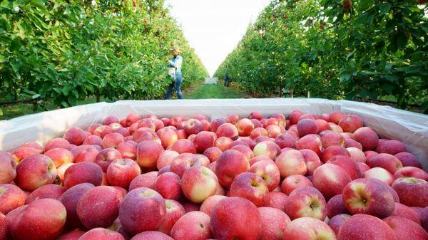 ارزآوری 764 میلیون دلاری صادرات سیب درختی در 9 ماهه سال جاری