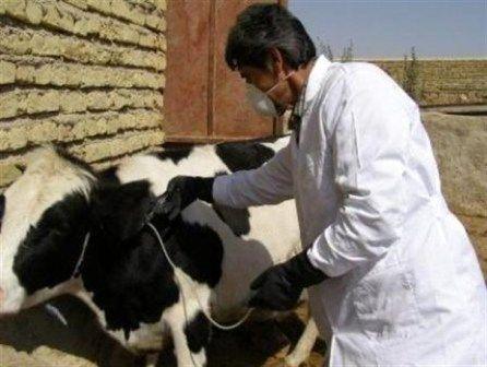 واکسیناسیون دامهای عشایر در دشت لار