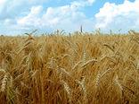 برداشت بیش از یک میلیون و 900 هزار تن انواع محصولات زراعی در استان زنجان