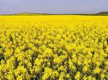 خرید تضمینی بیش از ۳۷۰۰ تن دانه روغنی کلزا از زارعین آذربایجان غربی