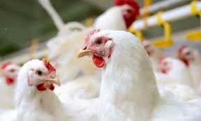 تنها مرغ فروشیهای دارای رهتاب حق فروش دارند