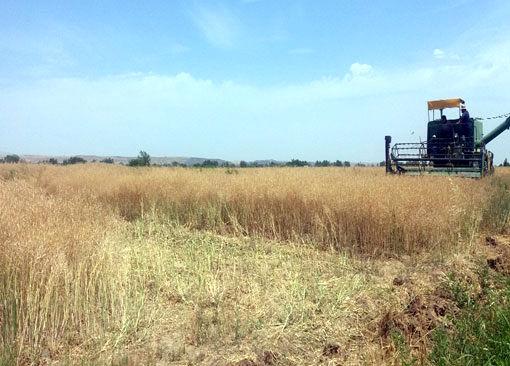 برداشت کلزا در مزارع شهرستان خداآفرین آغاز شد