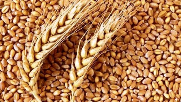 توزیع بذر گندم در بوشهر/ چشمان کشاورزان به آسمان است