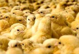 کمبود نهاده عامل اصلی افزایش قیمت مرغ است