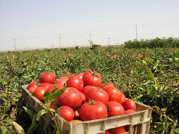 برداشت گوجه فرنگی از مزارع کشاورزی استان قزوین آغاز شد