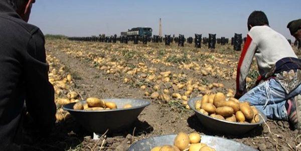 بیش از ۱۶۰۰ تن سیب زمینی در دماوند برداشت شد