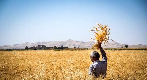 پیشبینی برداشت ۲۸۹ هزار تن گندم در اصفهان