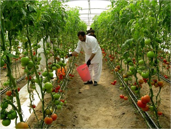 صادرات یک هزارتن گوجه فرنگی به روسیه و کشورهای حوزه خلیج فارس