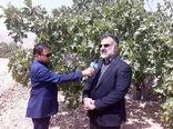 باغ بَر انجیر در اراضی شیب دار احداث می شود