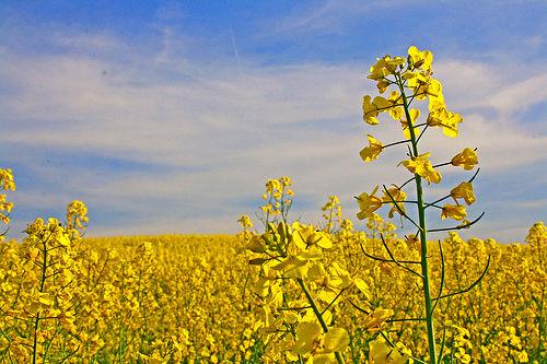 برداشت 10 هزار تن دانه کلزا از مزارع کشاورزی قزوین/ رشد 192 درصدی نسبت به سال گذشته