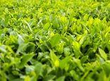 ۴۰ میلیارد تومان خسارت سرمازدگی به چایکاران شمالی پرداخت میشود