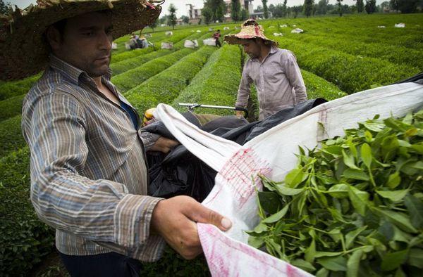 صادرات چای ایرانی به 40 کشور دنیا