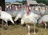 بررسی مشکلات طرحهای پرورش مرغ و بوقلمون شهرستان رابر