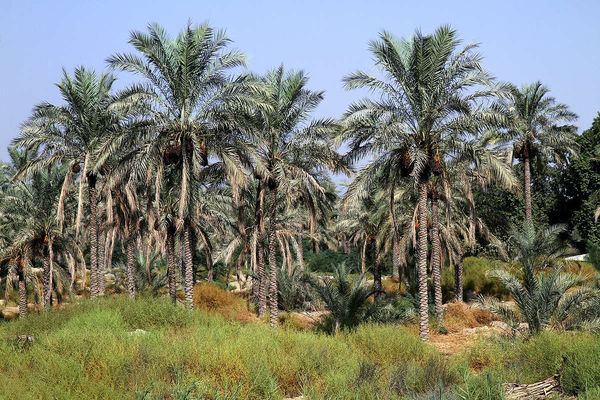 نخلستانهای بوشهر تحت پایش آفت سرخرطومی حنایی قرار گرفت